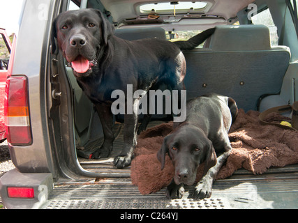Two black Labrador dogs sat in the back of a 4x4 car resting on a grouse shooting day waiting for their owners - Stock Photo
