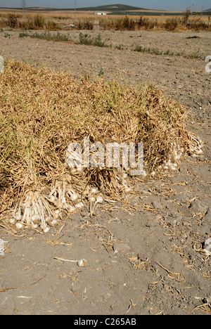 Bundles of freshly harvested garlic bulds heaped together in large piles waiting to be collected Stock Photo