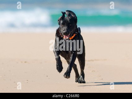 Fit labrador running along the beach. - Stock Photo
