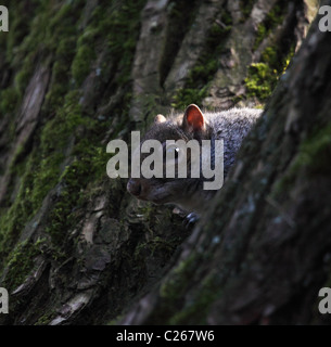 Grey squirrel playing hide and seek - Stock Photo