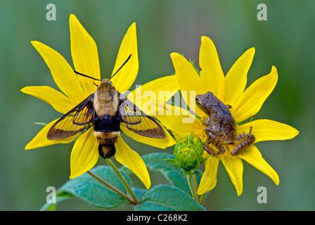 Hummingbird Moth Macroglossum stellatarum & Spring Peeper Frog Hyla crucifer on Woodland Sunflower Helianthus divaricatus - Stock Photo