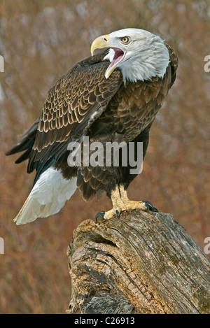 Bald Eagle Haliaeetus leucocephalus perched on tree snag Winter North America - Stock Photo