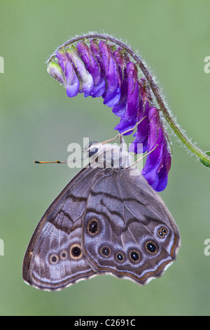 Northern Pearly-eye Butterfly Enodia anthedon feeding pollinating Cow Vetch Vicia cracca Eastern USA - Stock Photo