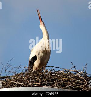 black and white stork rattles it's beak on the nest - Stock Photo