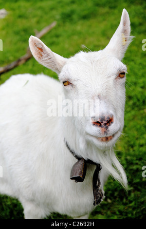close up of white goat with freckled nose and bell looking straight in the camera - Stock Photo