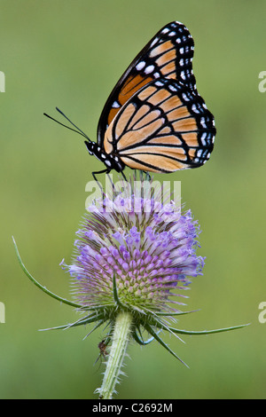 Viceroy Butterfly Limenitis archippus pollinating and gathering nectar from Teasel flower Dipsacus Eastern USA - Stock Photo