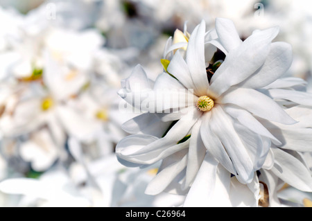 White magnolia flower detail in spring blooming - Stock Photo