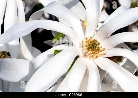 White magnolia flower detail in sping blooming - Stock Photo