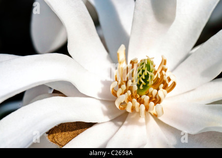 White magnolia flower pistils detail in spring blooming - Stock Photo