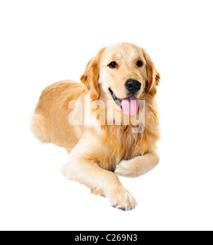 Golden retriever pet dog laying down isolated on white background - Stock Photo