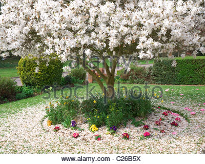 Close-up view of a carpet of fallen petals around a beautiful blooming white magnolia tree in front garden in spring - Stock Photo