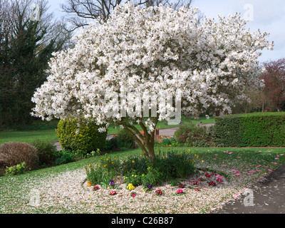A beautiful blooming white magnolia tree surround by a carpet of fallen petals in residential English front garden - Stock Photo