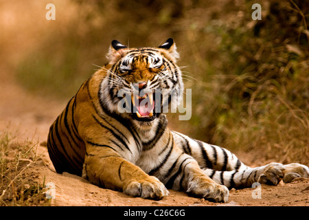 Tiger snarling on the forest tracks of Ranthambore tiger reserve - Stock Photo