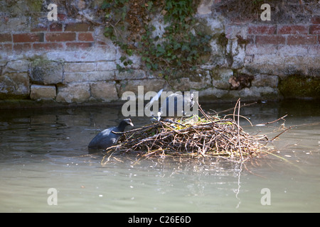 Coots building nest together in Salisbury river.Wiltshire England UK - Stock Photo
