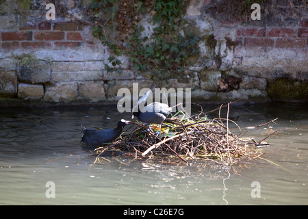 Coots building nest together in Salisbury river Avon. Wiltshire England UK - Stock Photo
