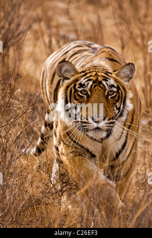 Alert tiger stalking head on in the dry grasses of the dry deciduous forest of Ranthambore tiger reserve - Stock Photo