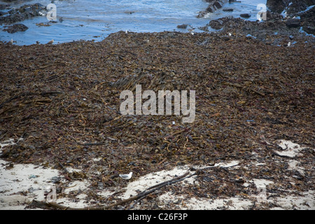 Seaweed washed up on beach in Cape Town - Stock Photo