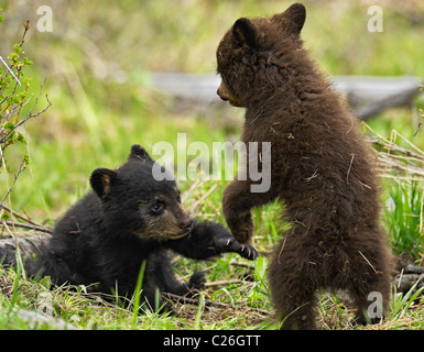 Black and Cinnamon Bear Cubs wrestling. - Stock Photo
