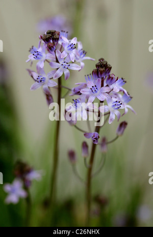 Autumn Squill, Prospero autumnale (syn. Scilla autumnalis), Liliaceae, Europe and North Africa. Rare in Britain. - Stock Photo