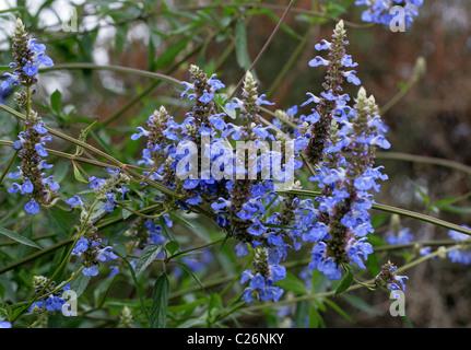 Bog Sage, Salvia uliginosa, Lamiaceae. Brazil, Uruguay and Argentina, South America. - Stock Photo