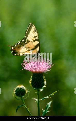 Swallowtail butterfly, Papilionidae, on bull thistle flower in summer meadow with afternoon  backlighting - Stock Photo