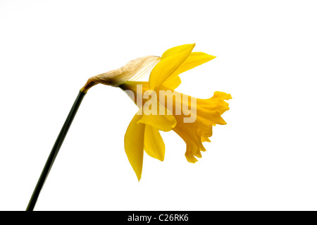 yellow daffodil close up side view - Stock Photo