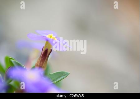 Aubrieta Glabrescens Turrill flowers in a garden rockery. UK - Stock Photo