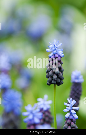 Muscari latifolium. Broad Leaved Grape Hyacinth flowers - Stock Photo