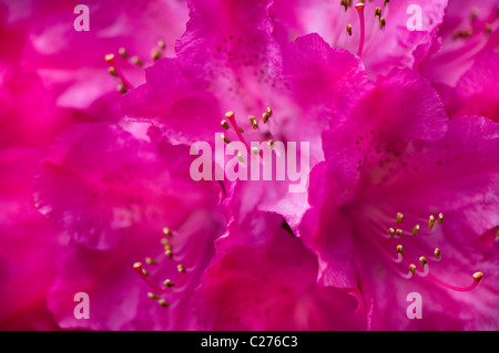 A close-up image of Rhododendron Cynthia AGM flowers - Stock Photo