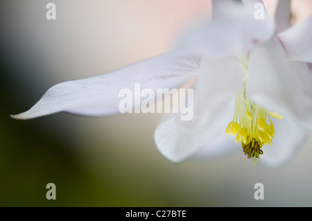 Single white Aquilegia vulgaris flower -  columbine - Stock Photo