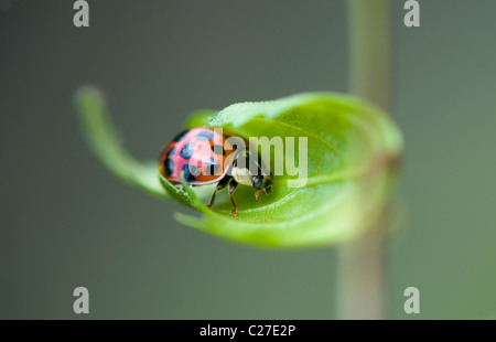 Harlequin Ladybird - Harmonia axyridis - Stock Photo