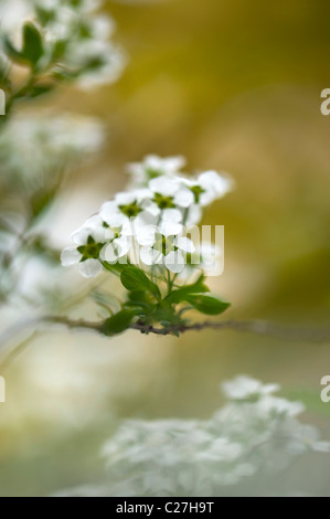 Spiraea - 'Arguta'  Bridal Wreath, Spiraea - Stock Photo