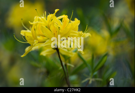 Azalea  Rhododendron Luteum - Yellow Azalea or Honeysuckle Azalea - Stock Photo