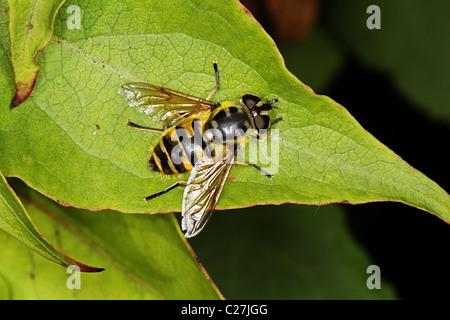 Myathrope florea hoverfly - Stock Photo