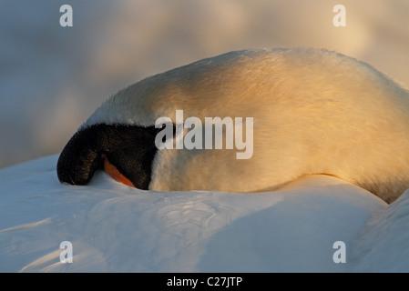 Mute Swan Cygnus olor sleeping - Stock Photo