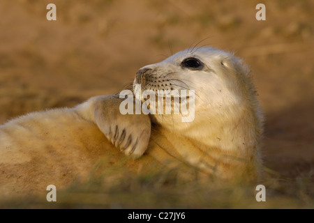 Grey seal (Halichoerus grypus) pup. Donna Nook, Lincolnshire, UK - Stock Photo