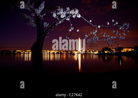 Washington DC at night with blooming cherry blossoms and the Washington Monument in the background - Stock Photo