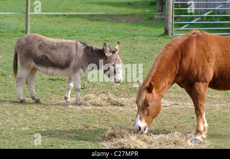 A donkey and a horse eating hay - Stock Photo
