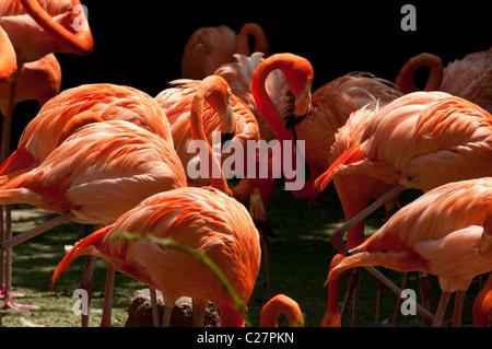 Pink flamingoes, Jurong Bird Park, Singapore - Stock Photo