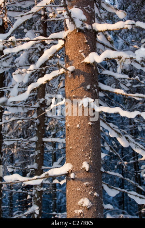 Spruce ( picea abies ) tree trunk at Winter , Finland - Stock Photo