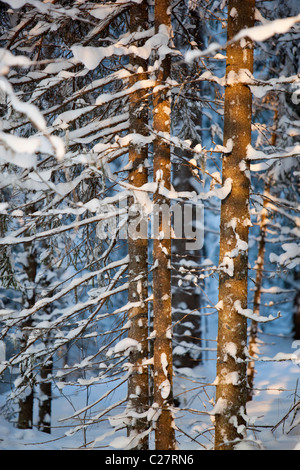 Young spruce ( picea abies ) tree trunks in forest at Winter , Finland - Stock Photo