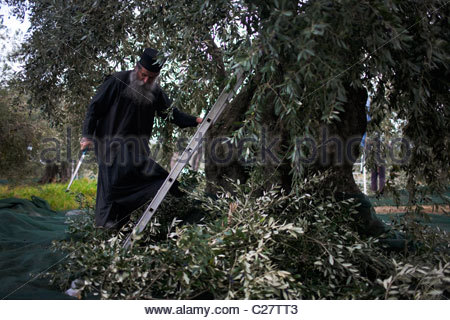 Father Efstratios cuts olive branches at the Great Lavra monastery. - Stock Photo