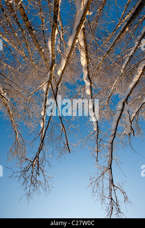 Bare and leafless birch ( betula ) and alder ( alnus ) tree trunks and branches at Winter - Stock Photo