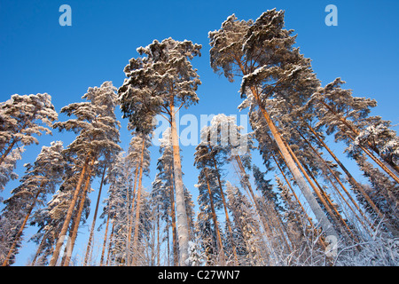 Pine trees at Winter (  Pinus sylvestris ) at taiga forest , Finland - Stock Photo