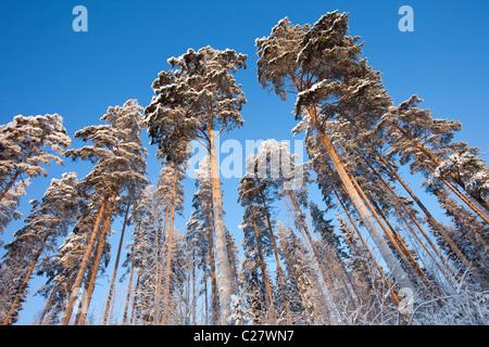 Pine trees at Winter (  Pinus sylvestris ) , Finland - Stock Photo