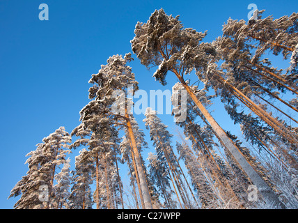 Finnish pine (  Pinus sylvestris ) trees at Winter , Finland - Stock Photo