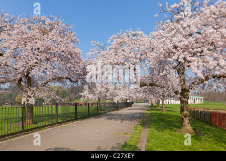 Cherry blossom on trees in Nottingham University park campus Nottingham Nottinghamshire England GB UK EU Europe - Stock Photo