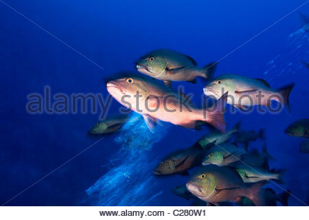 Red Snapper, Lutjanus bohar, schooling in a strong incoming current. - Stock Photo
