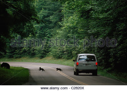 Two black bear cubs, Ursus americanus, cross a road in front of a van. - Stock Photo