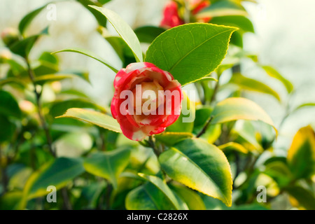 Japanese camellia pink flower on a bush close-up - Stock Photo
